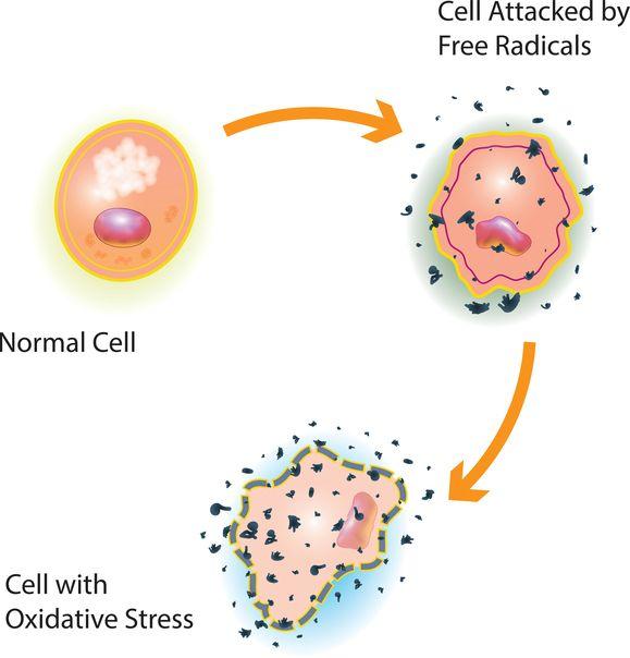 """Mitochondrien Medizin – """"Oxidativer Stress"""" schadet den Mitochondrien"""